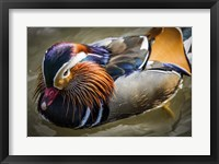Framed Mandarin Duck III