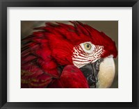 Framed Ara Parrot Close Up