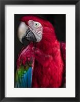 Framed Ara Parrot