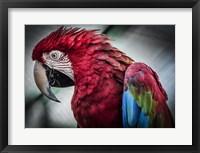 Framed Ara Parrot II