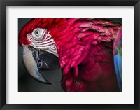 Framed Ara Parrot Close Up II