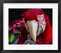 Framed Ara Parrot  III