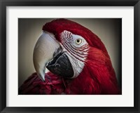 Framed Ara Parrot Close Up III