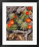 Framed Claret Cup Cactus