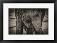 Framed Young Elephant sepia