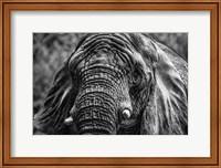 Framed Elephant Front Black & White
