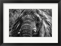 Framed Elephant Front Black & White