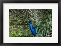 Framed Peacock Showing Off