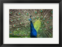 Framed Peacock Showing Off II