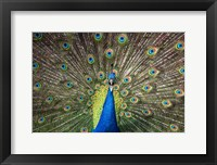 Framed Peacock Showing Off Close Up