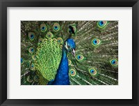 Framed Peacock Showing Off Close Up III