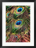 Framed Peacock Feathers