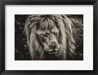 Framed White Albino Lion III Sepia