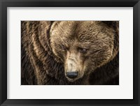 Framed Grizzly III