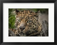 Framed Jaguar Close Up