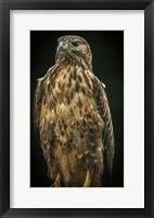 Framed Predator Bird IV