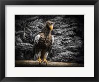 Framed Steller Eagle V