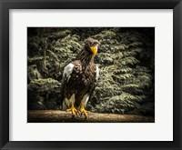 Framed Steller Eagle VI