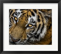 Framed Tiger Close Up