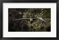 Framed Kondor Flight II