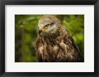 Framed Grey Kite