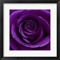 Framed Purple Rose 1