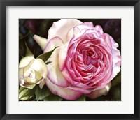 Framed Eden Rose With Bud