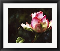 Framed Pink Rose Bud With Dewdrops