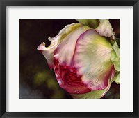 Framed Pink Rose With Raindrops