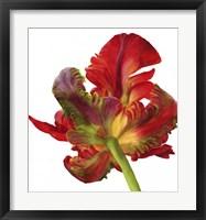 Framed Red Parrot Tulip
