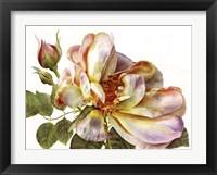 Framed Rose Clair On White Background