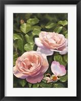 Framed Rose Clair Renaissance Iii