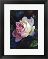 Framed Rose Ghislaine De Feligonde