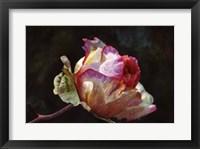 Framed Open Pink Rose Bud