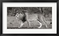 Framed Lion Walking in African Savannah