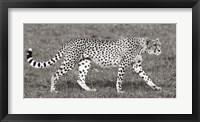 Framed Cheetah Hunting, Masai Mara