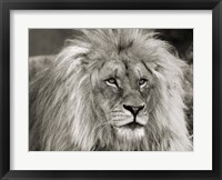 Framed King of Africa