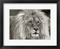 Framed King of Africa
