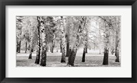 Framed Birches in a Park