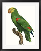 Framed Parrot of the Tropics III