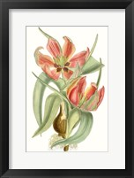 Framed Curtis Tulips I
