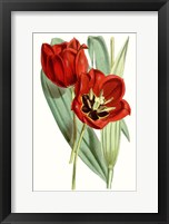Framed Curtis Tulips V