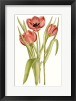 Framed Curtis Tulips VII