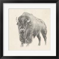 Framed Western Bison Study