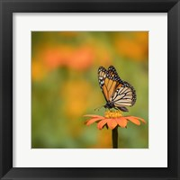 Framed Butterfly Portrait IV