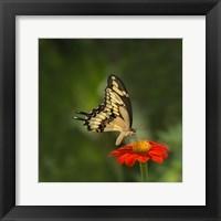 Framed Butterfly Portrait V