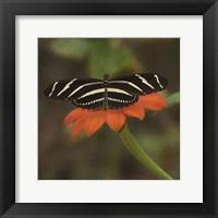 Framed Butterfly Portrait VII