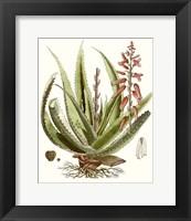 Framed Antique Aloe I