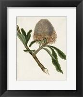 Framed Antique Protea I