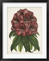 Framed Rhododendron Study I